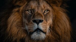 a lions face to represent how to have more gravitas