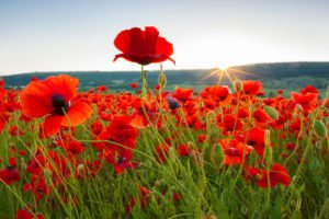 what is tall poppy syndrome