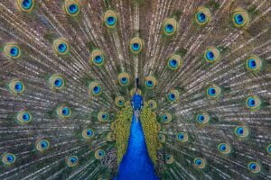 a peacock to symbolise making a first impression with your linkedin publisher post