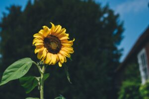 a sunflower to represent success