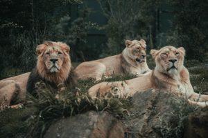 a lion herd