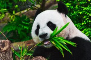 a panda eating to represent having the hunger to act like a partner
