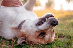 a dog getting a belly rub